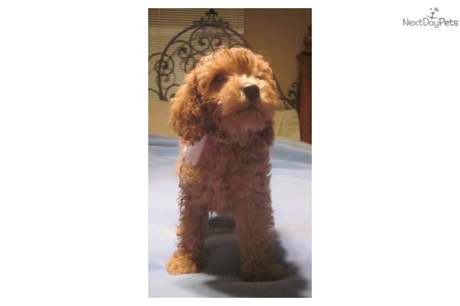 Cockapoo puppy for sale near Dayton / Springfield, Ohio ...