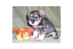 Picture of an Affenpinscher Puppy