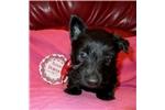 Scottish Terrier for sale