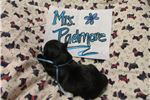 Picture of Mrs.Padmore- AKC Scottish Terrier Black Lass