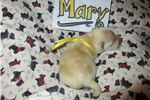 Picture of Mary - AKC Scottish Terrier Wheaten Lass