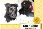 Picture of Kara the Kutie - Yellow Collar AKC Scottie