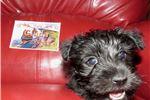 Picture of Clyda - Black AKC Scottie