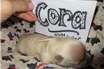 Picture of Cora - AKC Scottish Terrier Wheaten Girl