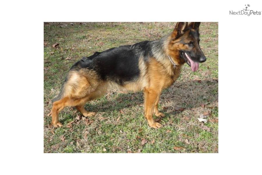 german-shepherd-male-e...