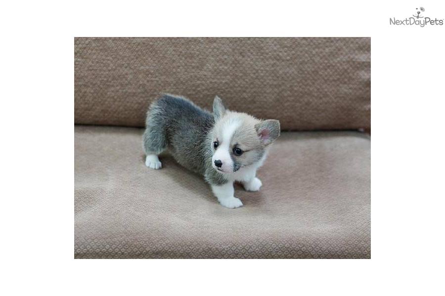 Mini Corgi Puppies For Sale >> Welsh Corgi, Pembroke puppy for sale near Las Vegas, Nevada | 83a0371d-42b1