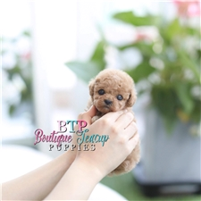 View full profile for Boutique Teacup Puppies