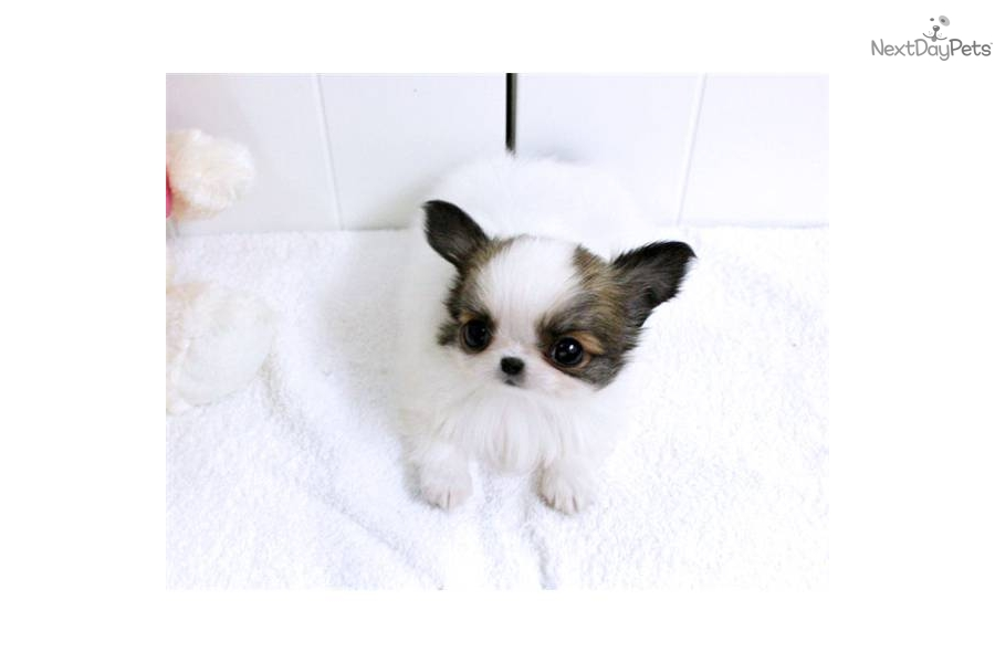 Pictures of Teacup Chihuahua White - #rock-cafe