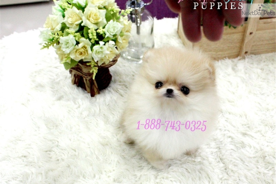 pomeranian puppies for sale in texas cheap pomeranian puppy for sale near houston texas bcf8803e 1701 3246