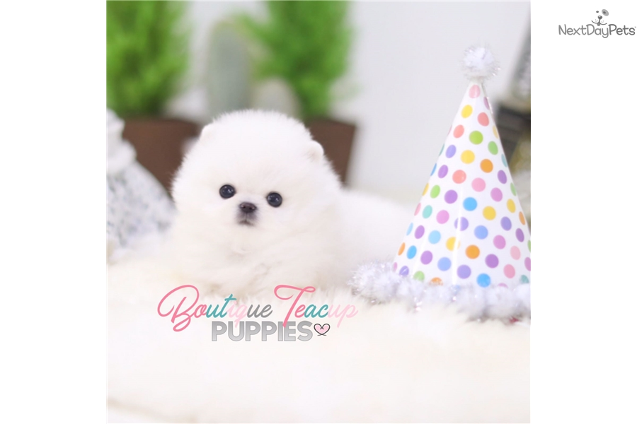 Toby Pomeranian Puppy For Sale Near Houston Texas 14a279e6 4171