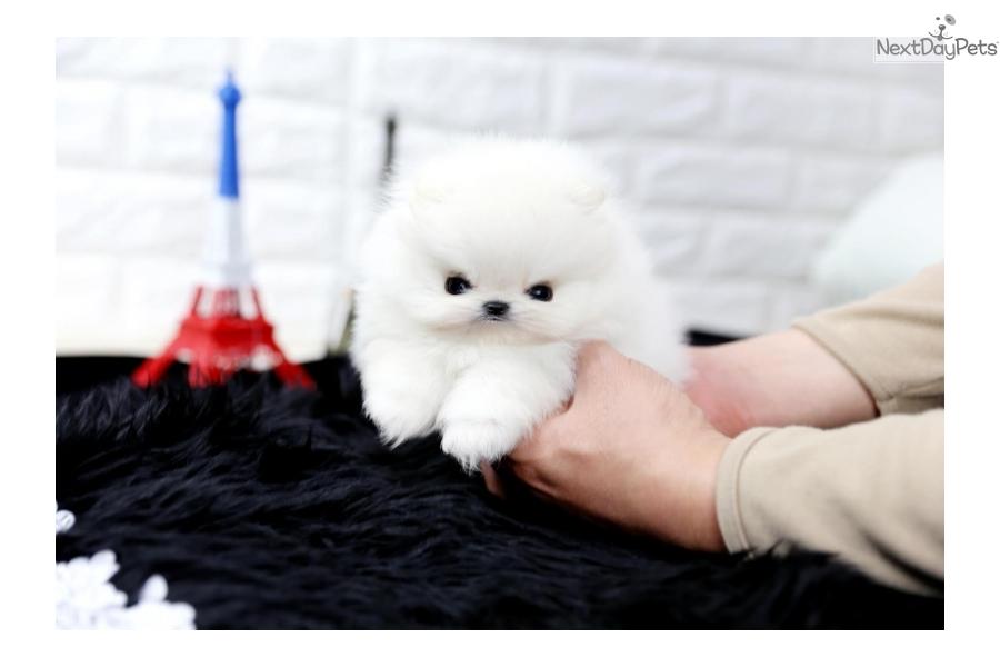 Prince Pomeranian Puppy For Sale Near Houston Texas 4e1177f2 Eba1