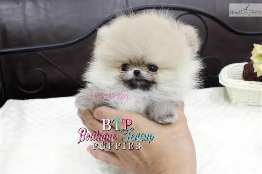Chopper Pomeranian Puppy For Sale Near Houston Texas 5f2dfa5c 9281