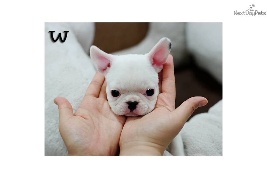 Pictures of White Miniature French Bulldog - #rock-cafe