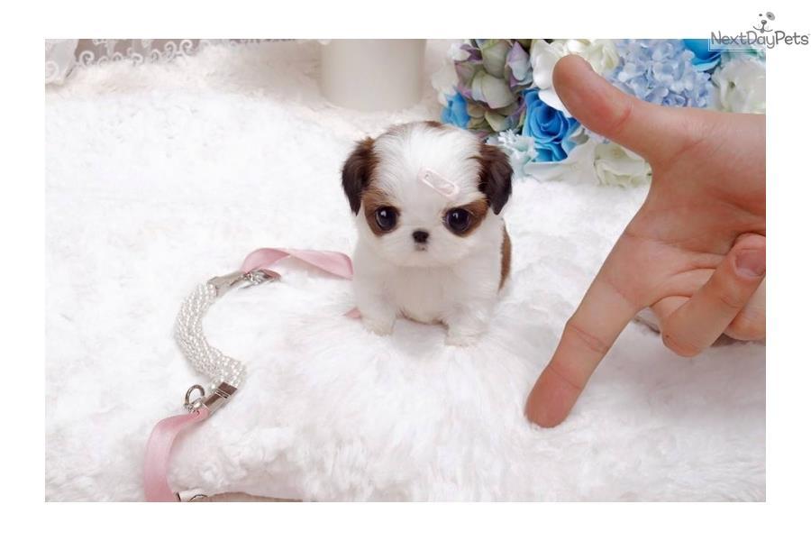 Shih Tzu Puppies : Tiny Lil Shihtzu Bunny Available! SO ...
