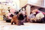 Pekingese for sale