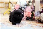 "Picture of Lil ""Galaxy"" <3 - Micro Jet Black Pekingese"