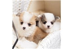 Picture of Mini Welsh Corgi Harley Available!