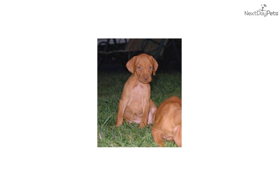 Rusty: Vizsla puppy for sale near Nebraska USA