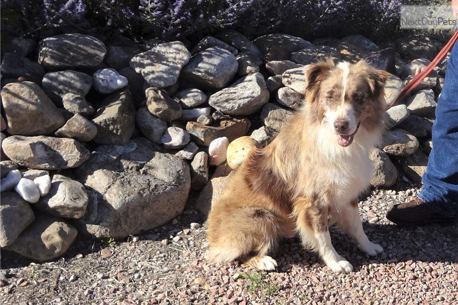 """""""Skye"""": Australian Shepherd puppy for sale near Rapid City ..."""