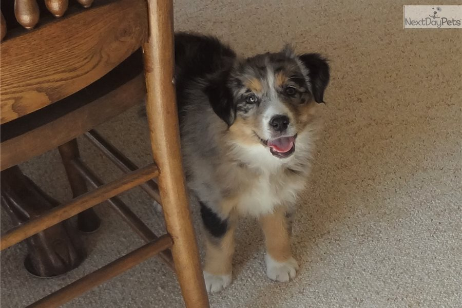 Dogs For Sale In Rapid City Sd