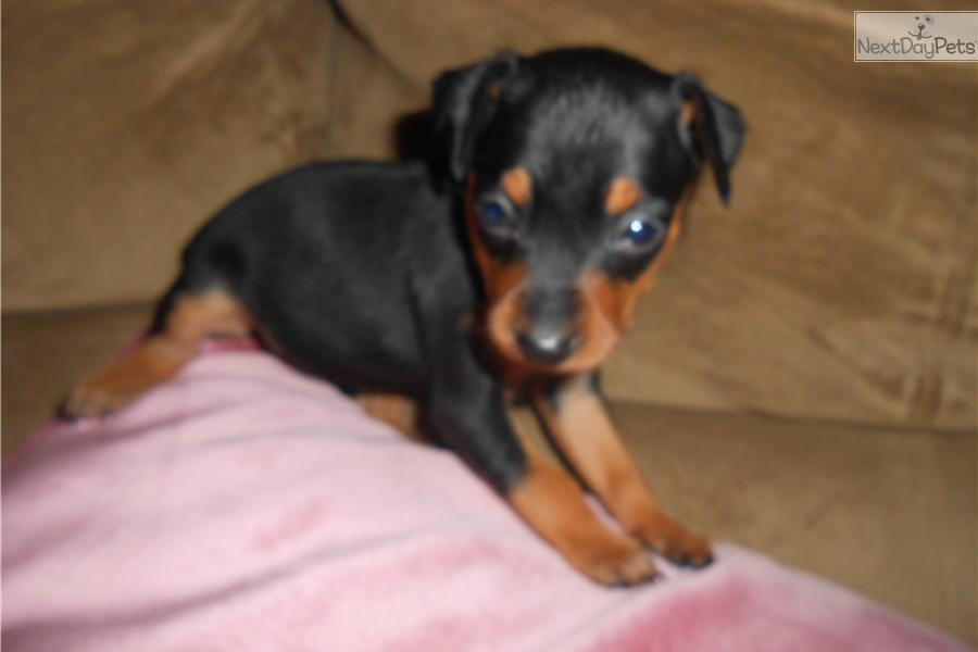 Dog House For Sale >> Miniature Pinscher puppy for sale near Syracuse, New York | 3fc50cd5-0881
