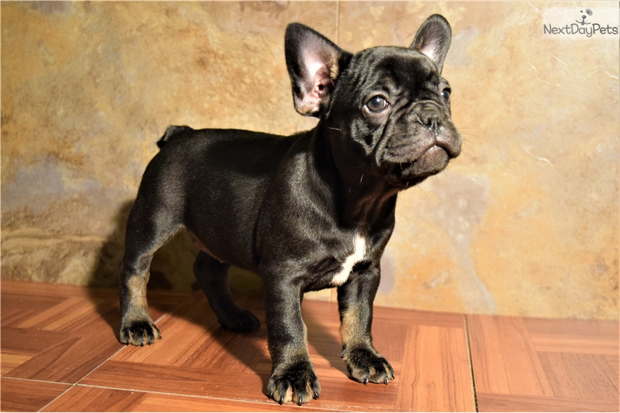 Black And Tan French Bulldog Puppy For Sale Near Detroit