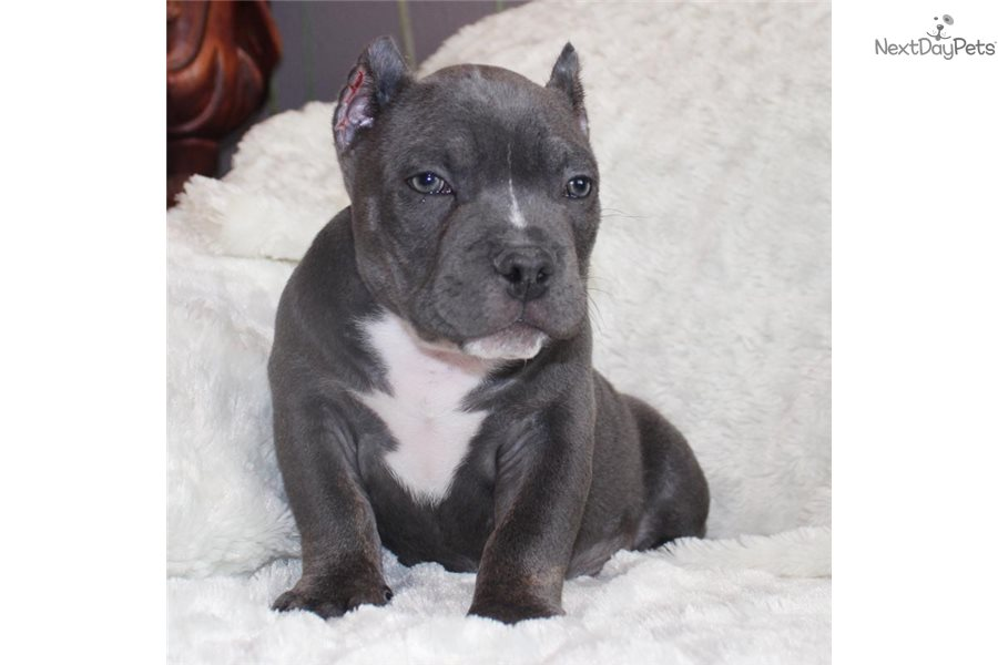 Bully Dog For Sale In Los Angeles