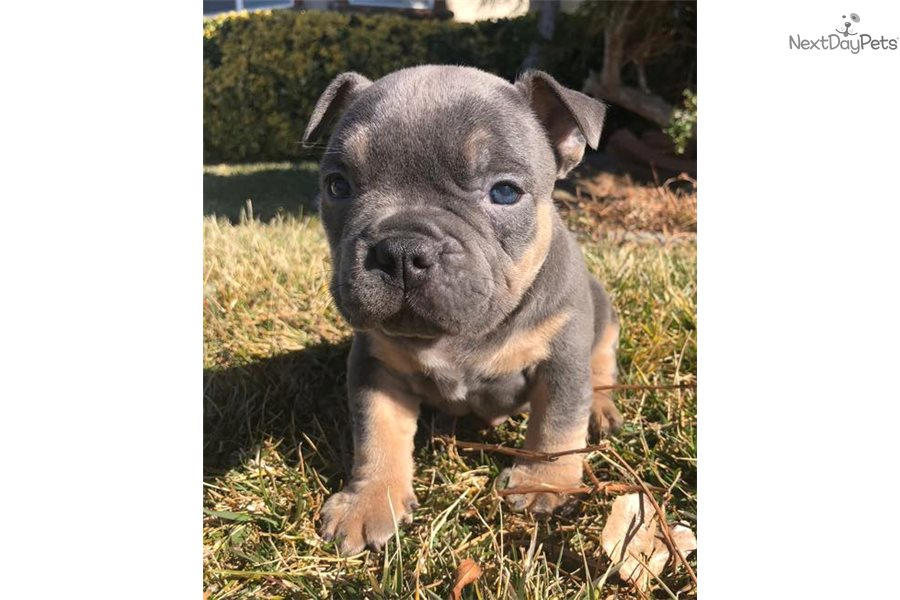 American Bully puppy for sale near Los Angeles, California