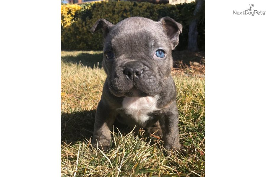 Picture of an American Bully