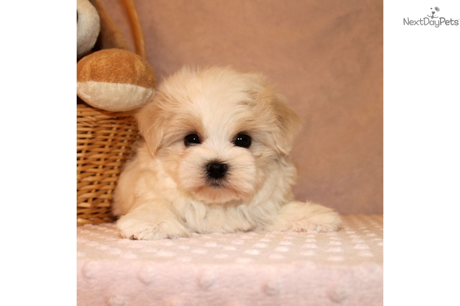 maltese puppies near me maltese puppy for sale near los angeles california 1163