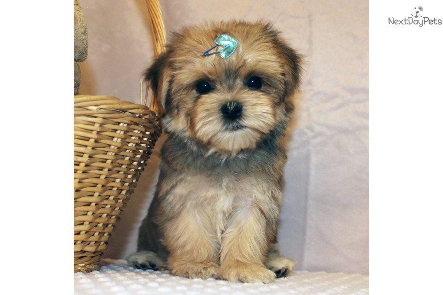 Buy Morkie / Yorktese puppy for sale near Delaware USA