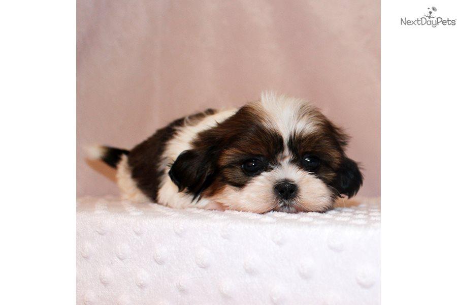 Shih Tzu Puppy For Sale Near Los Angeles California Fe5e2aab E681