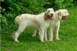Featured Breeder of Spinone Italianos with Puppies For Sale
