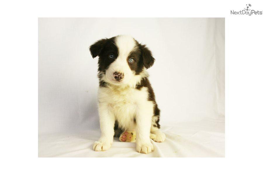 Roco Border Collie Puppy For Sale Near Des Moines Iowa
