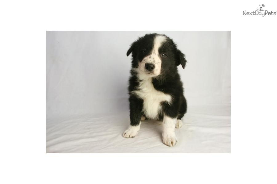 Paris Border Collie Puppy For Sale Near Des Moines Iowa Cb75fe73