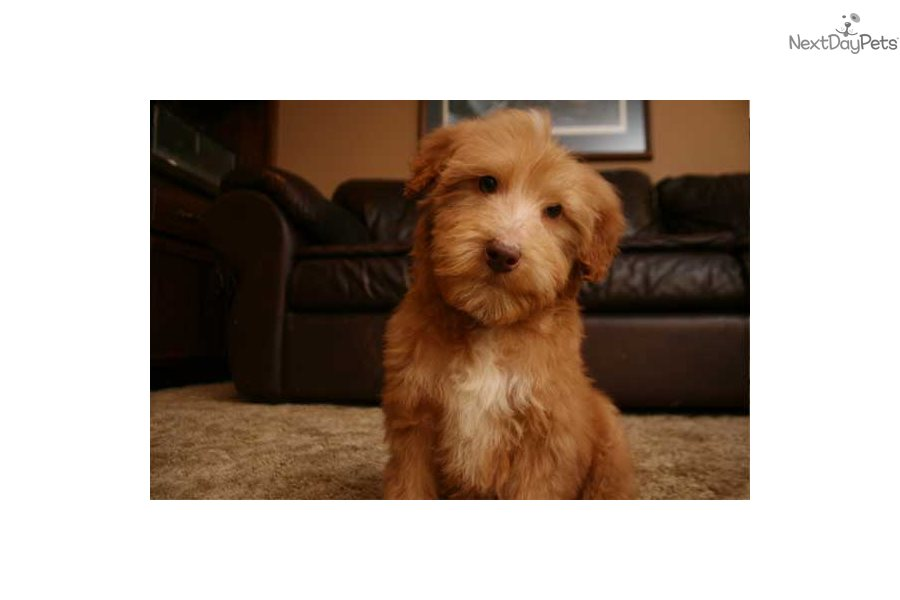 Tanner bordoodle puppy for sale near des moines iowa 754af6dd 7f81 previous picture next picture solutioingenieria Image collections