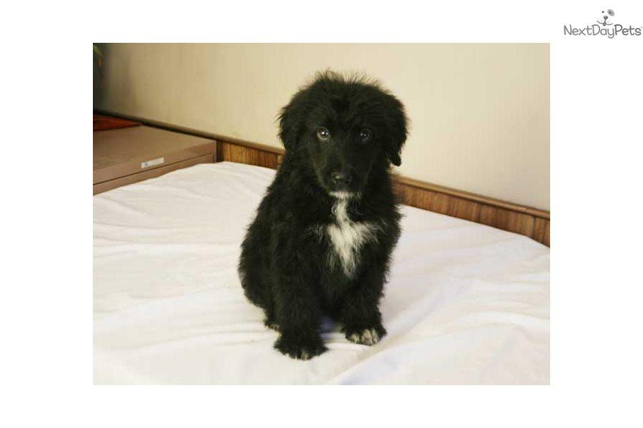 Tux Bordoodle Puppy For Sale Near Des Moines Iowa 4c859302 E5a1