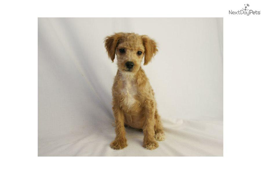 Alisa: Cockapoo puppy for sale near Des Moines, Iowa