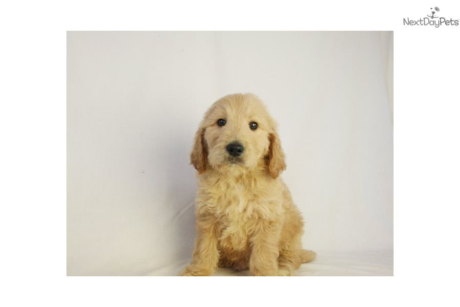 Fran: Goldendoodle puppy for sale near Des Moines, Iowa