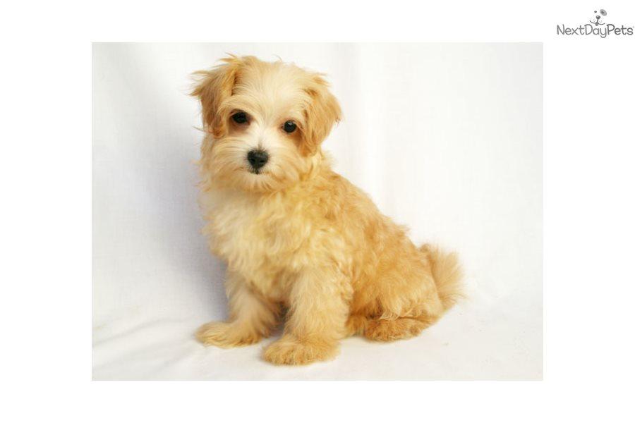 Jana Malti Poo Maltipoo Puppy For Sale Near Des Moines Iowa