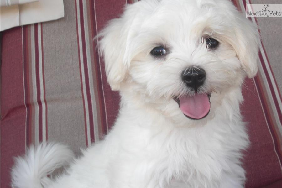 maltese breeders indiana conner maltese puppy for sale near indianapolis indiana 2840