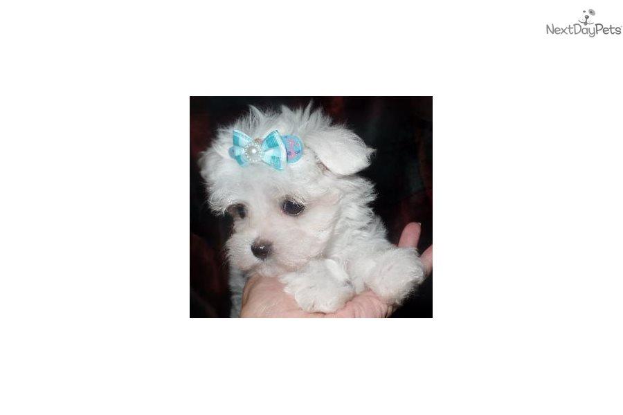Dolly: Malti Poo - Maltipoo puppy for sale near Louisville