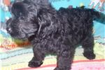 Picture of Beautiful Cockapoo For Sale Indiana/Kentucky