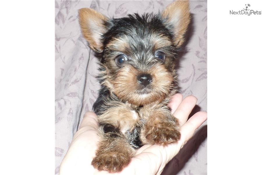 yorkie puppies for sale indianapolis karem yorkshire terrier yorkie puppy for sale near 2172