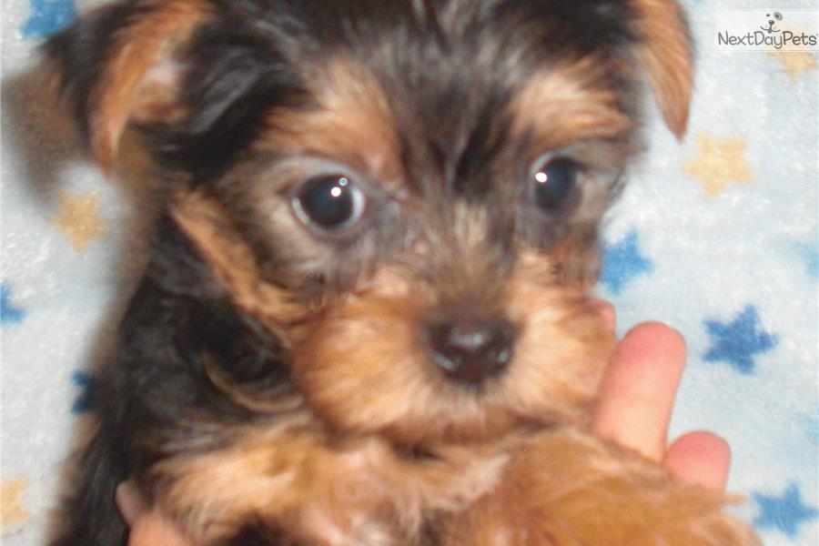 yorkie puppies for sale indianapolis reggie yorkshire terrier yorkie puppy for sale near 9449