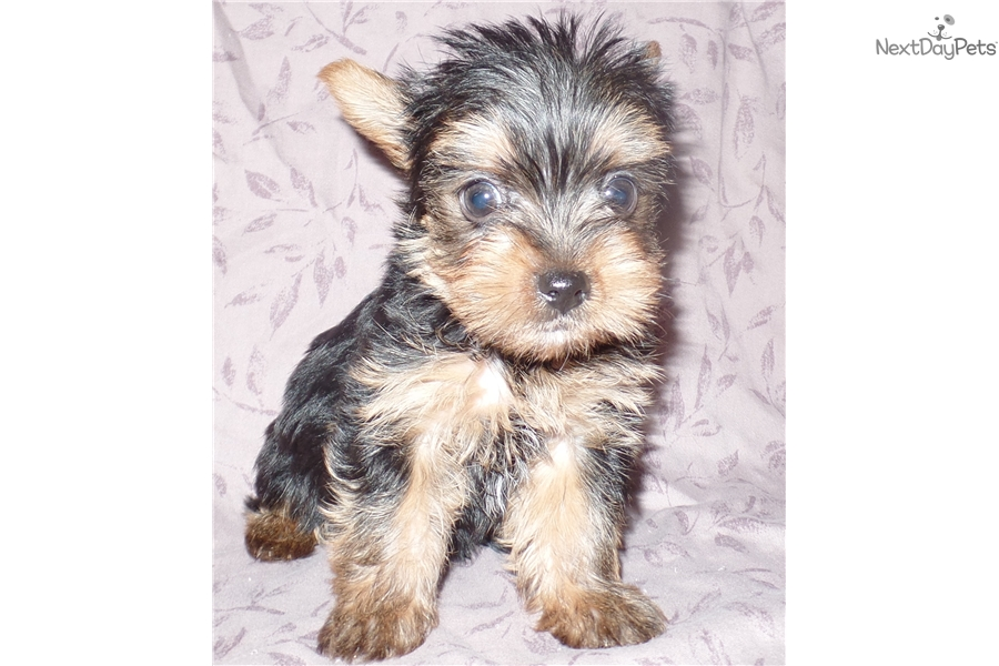yorkie puppies for sale indianapolis karem yorkshire terrier yorkie puppy for sale near 7298