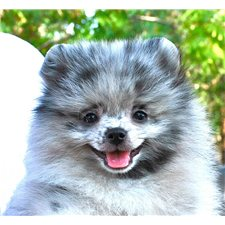 View full profile for Dee Dee's Pomeranians