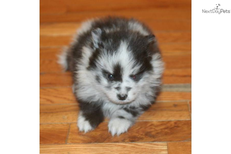 blue merle pomeranian puppies for sale pomeranian puppy for sale near grand island nebraska 7289