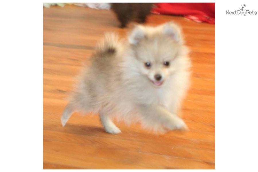 Meet CHASITY a cute Pomeranian puppy for sale for $975 ...