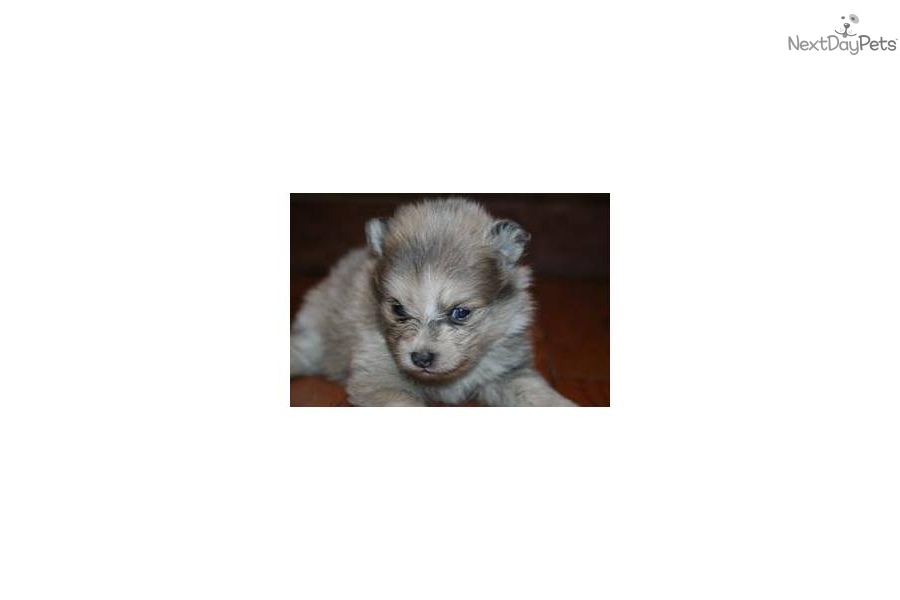 lavender pomeranian puppies for sale meet ditzy a cute pomeranian puppy for sale for 975 2731